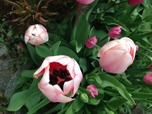 spring in Vancouver - tulip