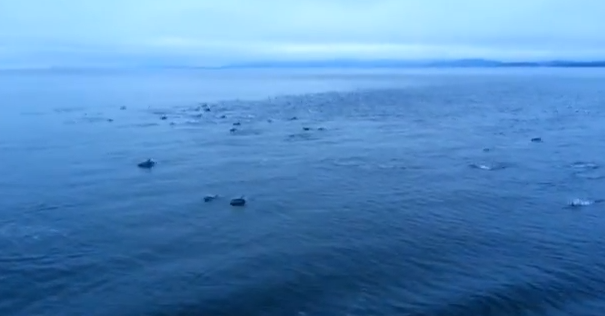 Dolphins near Vancouver