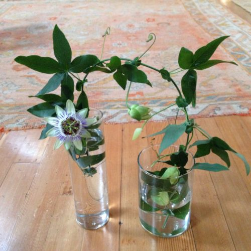 Passionflower vine in two vases